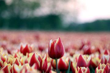 Tulipe sur