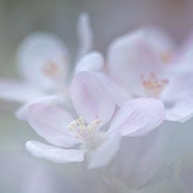 Fragilité de la fleur de pommier sur Karla Leeftink