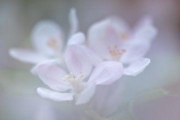 Zerbrechliche Apfelblüte von Karla Leeftink