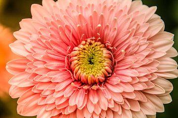 Roze stralende bloem van Stedom Fotografie