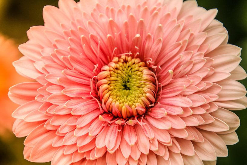 Roze stralende bloem van Koop je Canvas