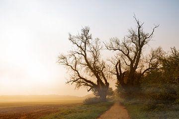zwei alte Pappelbäume mit kahlen Ästen an einem Weg neben einem Feld im nebligen Morgenlicht des Son von Maren Winter