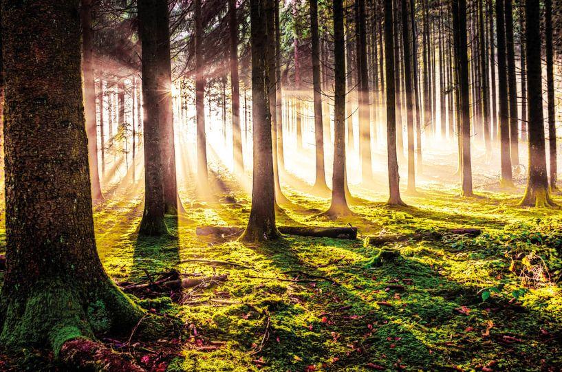 Herbstwald in der Abendsonne von Nicc Koch