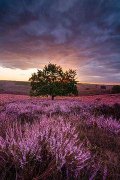 Violettes Heidekraut von Jarno Boks