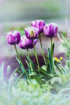 Tulipes dans le jardin sur Alex Hiemstra