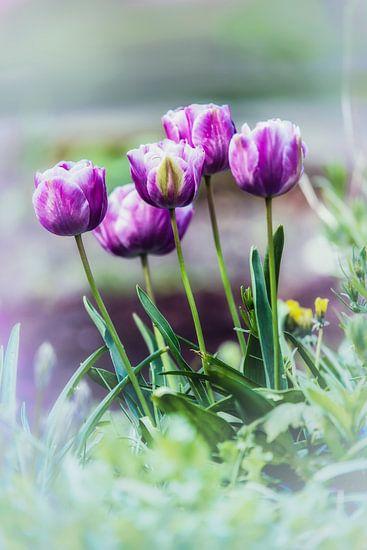 Tulpen in de tuin