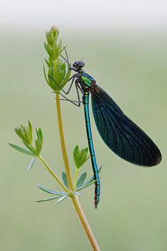 Beautiful Demoiselle *Calopteryx virgo* van wunderbare Erde