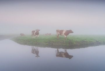 roodbonte koeien in de mist van