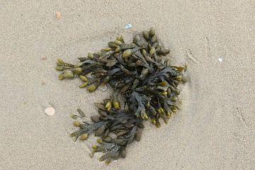 zeewier op het strand van Frans Versteden
