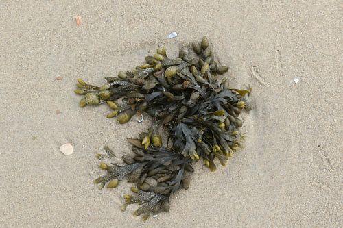 zeewier op het strand