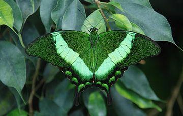 Papilio Blumei von Esther's Photos