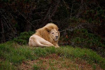 White Lion von Sascha Stein