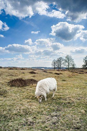 Schaap in Nederlands heide landschap