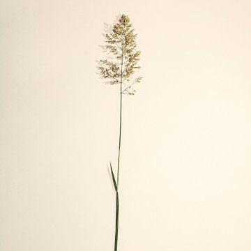 gras stengel van Douwe Beckmann