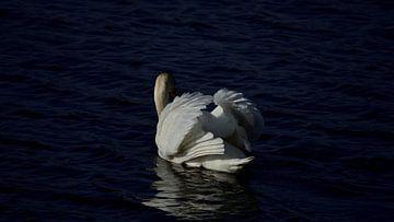Witte zwemmende Knobbelzwaan van Gerard de Zwaan