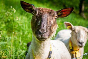 Een schaap in een Noors weiland van Hamperium Photography