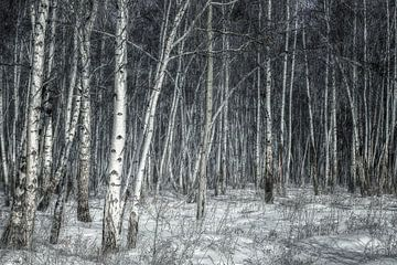 Birkenwald Sibirien von Peter Poppe
