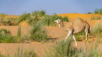 Kamel reist durch die Sahara, Tunesien von Jessica Lokker
