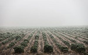 """Boerenkool"" in the mist - Bergen op Zoom"
