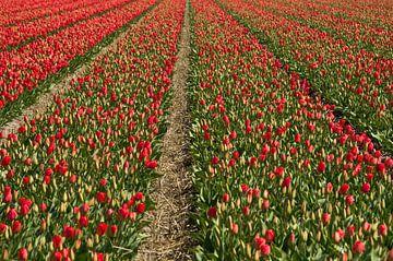 tulpenveld van Astrid Boelens