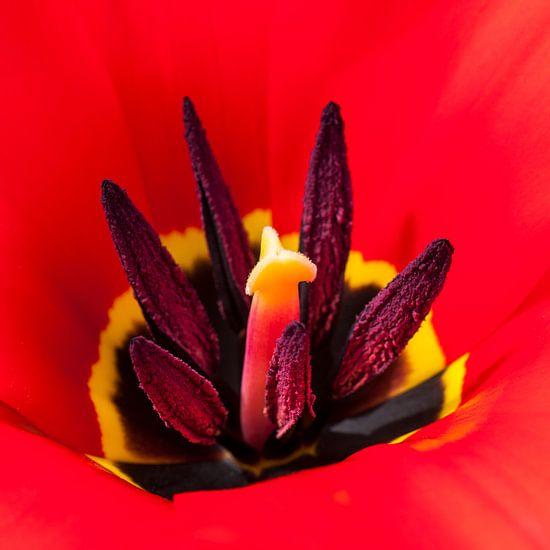 vlammend hart van een rode tulp van Anouschka Hendriks