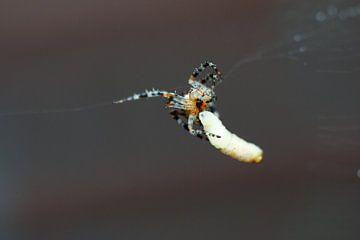 L'araignée a attrapé un asticot
