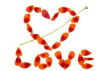 Rote Tulpe LOVE von Jessica Berendsen