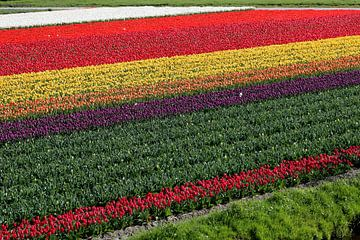 Regenboog bollenveld
