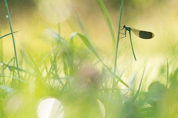 weidebeekjuffer in kleurrijke omgeving van Francois Debets
