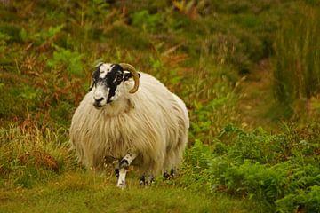 Ram in Ierland van Babetts Bildergalerie