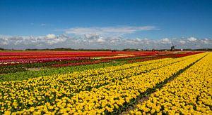 Bollenveld in Noord-Holland van