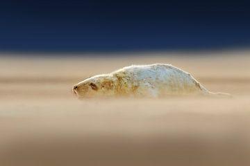 Jonge Grijze Zeehonden pup op het strand van Jeroen Stel