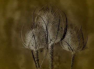 Disteln mit Blütenköpfen von Rudy & Gisela Schlechter