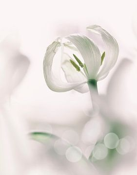 Witte tulp van