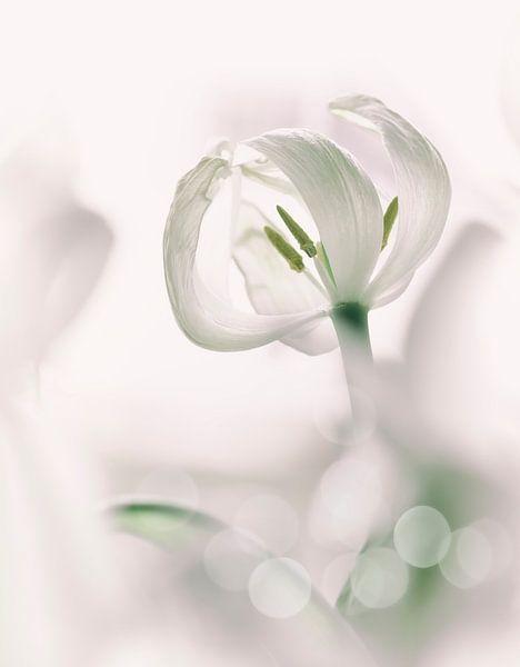 Witte tulp van Ellen Driesse