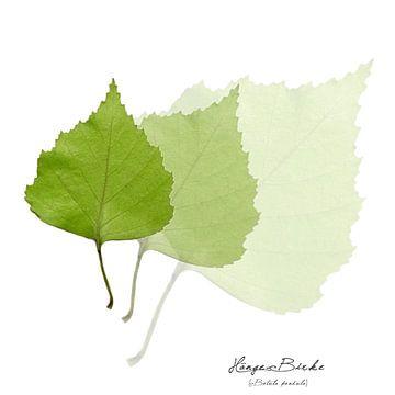 Collage mit Blättern der Birke von Christian Müringer