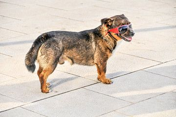 Ein cooler Hund schützt seine Augen vor der Sonne von Lars-Olof Nilsson
