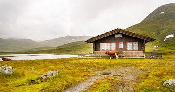 Koe in regen in Noorwegen van Charlotte Dirkse