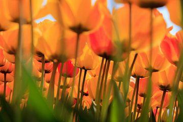 Hollandse tulpen in volle bloei tijdens de lente van gaps photography