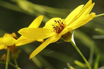 Eriophyllum lanatum bloem van Cora Unk
