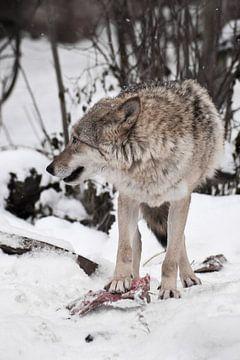 Een roofzuchtige wolf bewaakt een stuk vlees door er een pootje op te zetten en rond te kijken, de v van Michael Semenov
