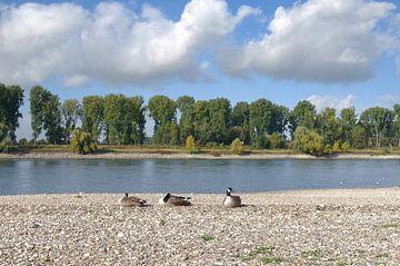 ruhende Kanadagänse am Rhein von Peter Eckert