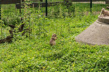 Prairiehond eet van