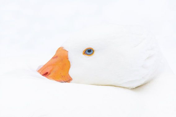 High key portrait of a Domesticated goose in winter