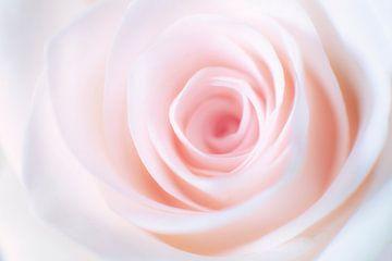 Rose sur Ton Drijfhamer