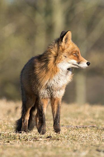 Portrait of a red fox! van Robert Kok