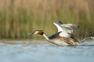 Great Crested Grebe ( Podiceps cristatus ) in action, hurry, flapping its wings, taking off from a s