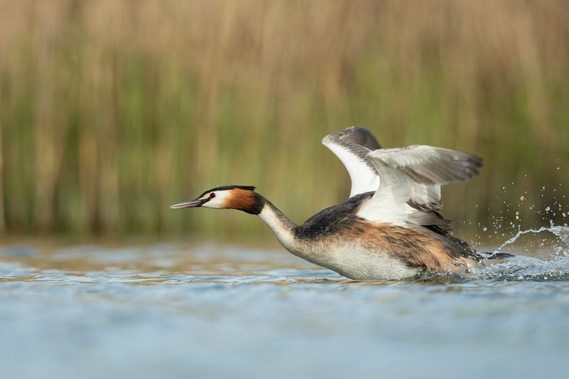 Great Crested Grebe ( Podiceps cristatus ) in action, hurry, flapping its wings, taking off from a s van wunderbare Erde