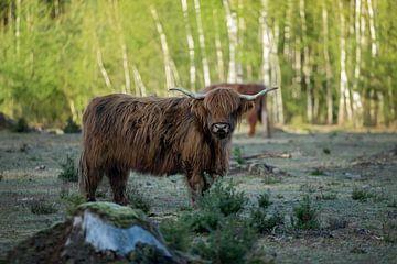 Schotse hooglander koe van gea strucks