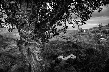Sprookjes boom in Ierland van Bo Scheeringa Photography